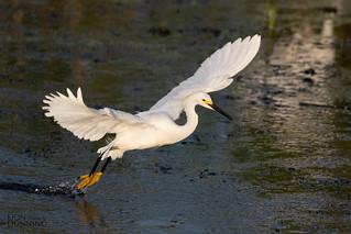 Snowy Egret Liftoff (Egretta thula)