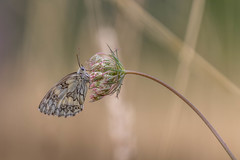 2018-07-15--Lorry Mardigny0019.jpg (heijoelle) Tags: france macro lorrymardigny butterflyhalfmourning demideuil papillons insecte moselle europe animaux lorraine macrophotographie