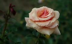 Roseraie de Rosheim -6- (mamietherese1) Tags: fleursetpaysages world100f earthmarvels50earthfaves doublefantasy