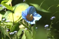 REFORD GARDENS |     BLUE POPPY  | PAVOT BLEU  |    REFORD GARDENS |  LES JARDINS DE MÉTIS  | QUEBEC  |  GASPESIE   |  CANADA (C. C. Gosselin) Tags: reford gardens | blue poppy pavot bleu les jardins de métis quebec gaspesie canada canon 7d 7dmarkii rebel t2i canonrebelt2i eos canon7d markii rebelt2i canonrebel canont2i eost2i eos7d eos7dmarkii mark 2 mark2 eos7dmark2 canon7dmarkii ii canoneosrebelt2i canoneos7d canoneos ph:camera=canon