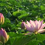 Lotus Pond scenery thumbnail