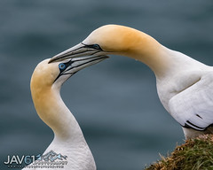 Mating Northern gannets-Morus bassanus-8627 (George Vittman) Tags: bird gannet seabird mating pair nikonpassion wildlifephotography jav61photograpy jav61