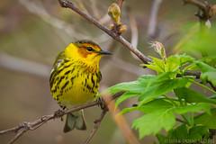 Cape May Warbler (Doug Scobel) Tags: cape may warbler setophaga tigrina magee marsh wild bird nature explore wildlife woodwarbler
