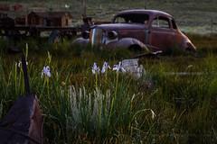 Wild Iris & 1937 Chevy (Jeffrey Sullivan) Tags: wild iris wildflowers 1937 chevy bodie state historic park abandoned west ghost town night photography workshop canon eos 6d digital photo copyright 2018 jeff sullivan july 7