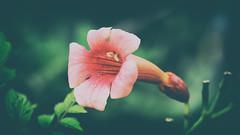 Micro Moment (dorameulman) Tags: macromonday macro micro micromoment dorameulman flower faded color flickr haiku sigma105mmf28exdgmacroos canon7dmark11 beautiful campsisradicans trumpetvine nativeplants