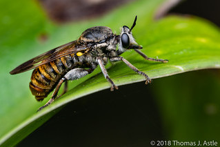 Bee/Wasp Mimic Robber Fly