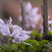 Winding Clematis ~ Huron River and Watershed