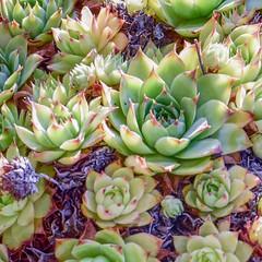 Aeonium (Babethaude) Tags: aeonium closeup flower succulent
