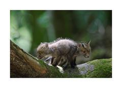 renardeau (Samuel Hauviller) Tags: animaux renard renardeaux wild foret d3s sauvage