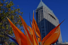 Baby's On Fire (oybay©) Tags: sandiego california sd san diego ca calif strelitza flower seaportvillage hilton tower downtown flora fleur color colors bokeh
