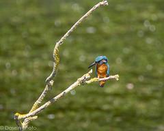blog180715-3 (DaseinPhoto) Tags: wildlife birds daseinphoto kingfisher rspbryemeads
