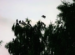 birds in a tree (EllaH52) Tags: nature evening trees bird birds