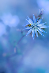 chicorée sauvage (heiserge) Tags: france macro bee lorrymardigny nature fleurs guèpe insectes guêpes moselle europe chicoryroots lorraine macrophotographie animal animaux