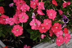 DSC_0617 Petunias (PeaTJay) Tags: nikond750 sigma reading berkshire lowerearley outdoors gardens flowers plants petunia