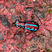 ecosystem/fauna/Azure Tiger Beetle(Jansenia azureocincta)