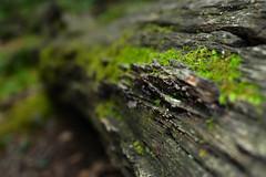 Moss hangin on a log (natalie_iwasz) Tags: wood macro moss green fallen tree woods forest adventure nikon nikond3400 texture bark brown ct connecticut northeast