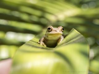 peeper? frog