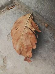 Dead Leaf (zohaibusmann) Tags: leaf deadleaf deadleaves leavesaredead leavesandplants loveofleaves leaflovers macroleaves macroleaf leavesphotos leavesarechanging leafontheground treesandleaves leafcloseup ngc zohaibusmanphotography poshe550 dryleaves dryleaf