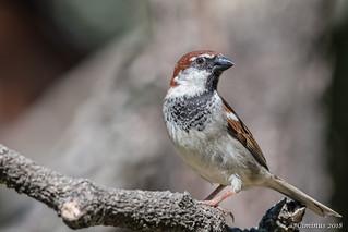 Passer Italiae  ♂︎ (Passero, Sparrow).