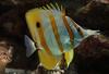 Stripes (eric zijn fotoos) Tags: holland sonyrx103 closeup fish water strepen stripes artis vis nederland noordholland macro dierentuin zoo thenetherlands