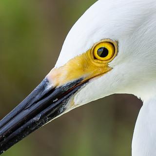 Snowy Egret Upclose