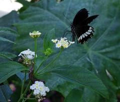 IMGP9090 (Steve Guess) Tags: museum horniman forest hill london england gb uk butterflys butterflies house flowers