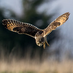 Short Eared Owl thumbnail