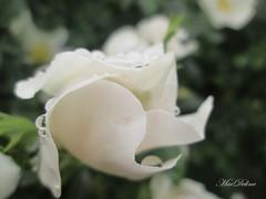 IMG_4390 22 (mariaad77) Tags: sweetbriar rosebud drops white canon rose roses