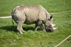 YWP9705 (davefieldson) Tags: animals outdoor rhino blackrhino ywp yorkshirewildlifepark