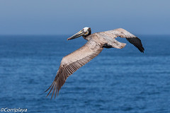 Pelícano Pardo, Brown Pelican (Pelecanus occidentalis) (Corriplaya) Tags: santacruzisland ventura brownpelican california pelicanopardo corriplaya birds pelecanusoccidentalis