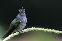 Charming Hummingbird (fernaabs) Tags: charming hummingbird amazilia decora colibrí gorrión amaziliacoronadeberilo apodiformes trochilidae aves fernaabs burgalin avesdecostarica