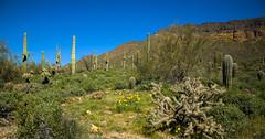 Usery Mountain (subgenius1) Tags: arizona desert userymountain saguaro