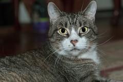 Back to Cat 🐈 (hoffler_pictorials) Tags: hofflerpictorials soft eyes brighteyed alert hearts cute sonyilce6300 emountlenses portrait face cat