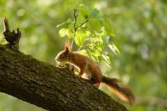 Just a squirrel searching for its morning coffee (derliebewolf) Tags: hörnchen nagetiere säugetiere wildlife dresden sachsen deutschland de squirrel redsquirrel dof bokeh