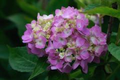hydrangea (kderricotte) Tags: hydrangea flower plant outdoor sony sonya7ii ilce7m2 canon100mm28macro