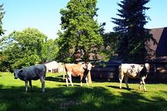 The Three Stooges (breezysound) Tags: cows kühe kälber calf calves