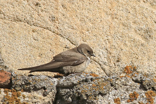 Ptyonoprogne rupestris Hirondelle de rochers Crag Martin Avión Roquero Felsenschwalbe