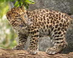Adventure Cub (Penny Hyde) Tags: amurleopard babyanimal bigcat cub leopard leopardcub sandiegozoo