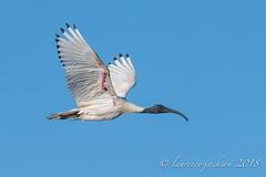 DSC_0238-1 (laurencejackson89) Tags: ibis d850 nikon 200500