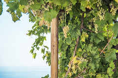 Il Malvasia... (Renato Pizzutti) Tags: eolie isoleeolie isoladisalina vitignomalvasia grappoli uva mare nikond750 renatopizzutti