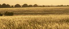 Golden Grasses Glisten (stevedewey2000) Tags: grasses grassland wiltshire salisburyplain landscape golden spta sptaeast tamron150600 yellow widescreen 2351