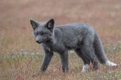 Grey Fox Kit (jeff's pixels) Tags: pnw gray grey fox kit babie cute foxes animal mammal wildlife nature beauty nikon d850