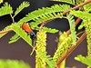 Nectar-feeder (thomasgorman1) Tags: wasp insect spiderwasp closeup tree leaves mesquite nature desert baja mx mexico canon
