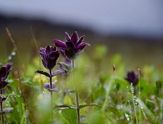 Cocrète violette