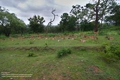 Herd of Deers relaxing (Praveenz...) Tags: silentphotos nature naturelover incredibleindia forest deers deer karnataka