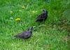 Скворцы (grizlena) Tags: spring russia россия starling новороссийск novorossiysk nature природа весна птицы bird улица город street скворец скворцы sturnus