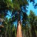Sequoia Tree