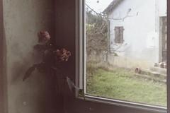 Deux roses près de la fenêtre (laetitia.delbreil) Tags: film filmphotography argentique analogue analogico análogo ishootfilm westillcare ifeelfilm filmisnotdead filmisback filmisawesome couleur colore color colour fujisuperia200 iso200 pentacon prakticab200 prakticar50mm118 singlelensreflex slr roses vintagecamera 35mm
