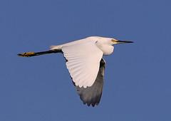 07-14-18-0027400 (Lake Worth) Tags: animal animals bird birds birdwatcher everglades southflorida feathers florida nature outdoor outdoors waterbirds wetlands wildlife wings