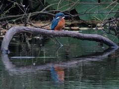 Kingfisher (GazingAtTrees) Tags: kingfisher rgbe